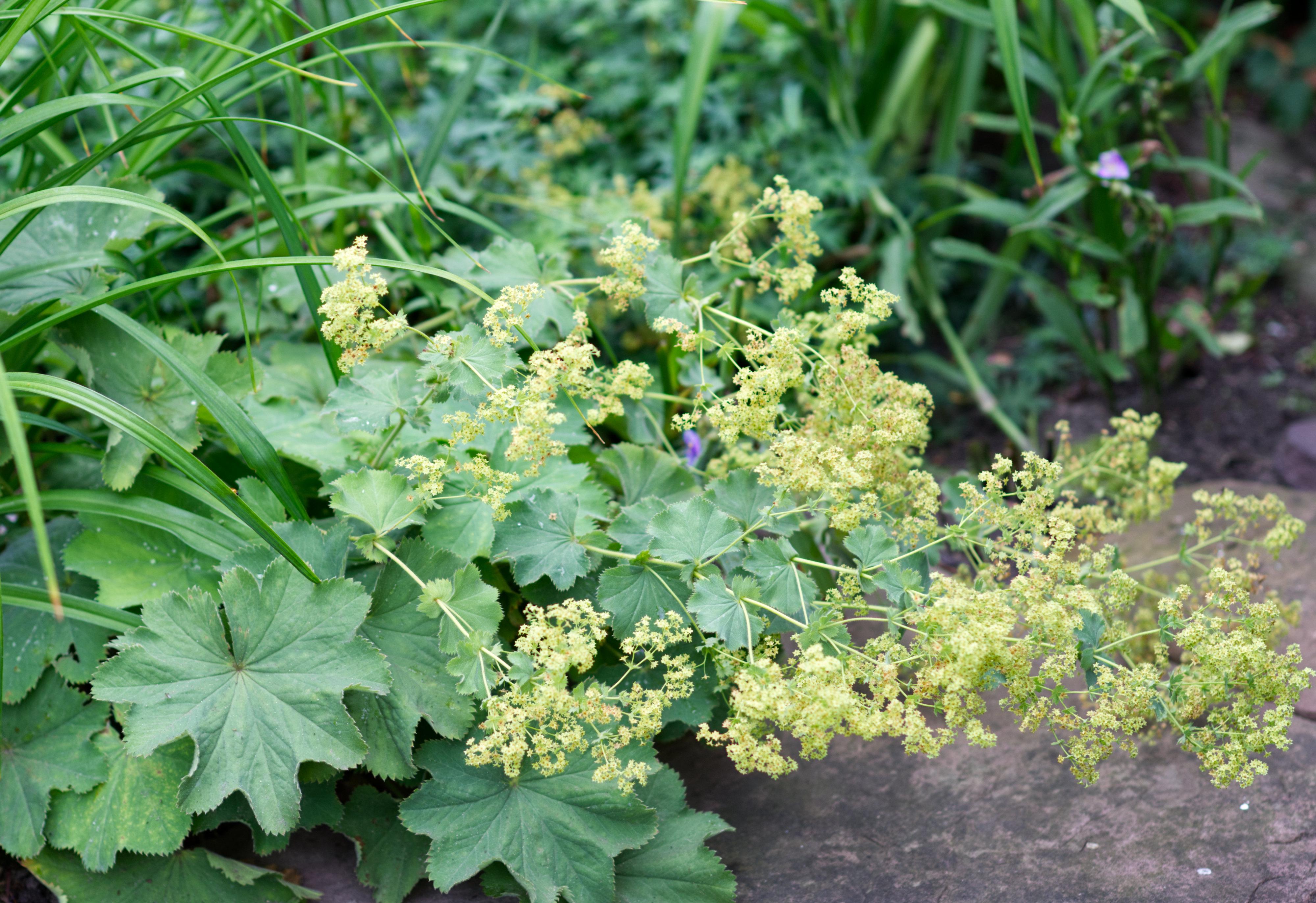 Frauenmantel Pflanze